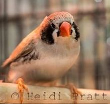 Black Cheeked Zebra Finch - Pet Bird