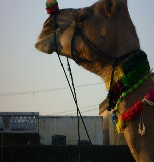 "src=""australian womens travel.jpg alt=womens travel,camel with nose decoration, rajasthan , India"