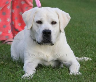 stud produces white lab puppies