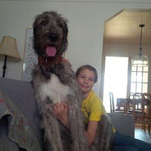 Irish Wolfhound - Home with Gulliver