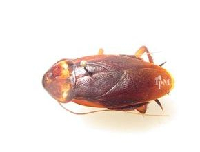 A common cockroach commonly known as a waterbug.