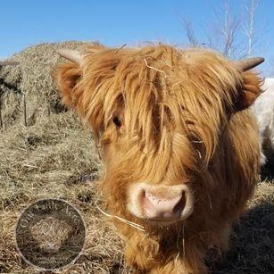 Miniature 100% Highland bull