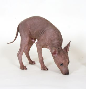 Nude N Rudes kennel - The Breed