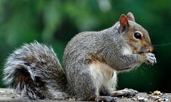 Grey squirrel eating bird food