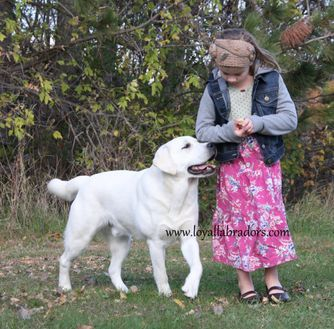 white english labrador stud dog that produces white puppies for sale