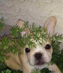 Cream male puppy