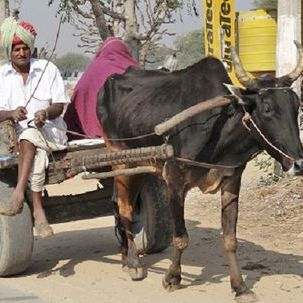 "src=""australian womens travel.jpg alt=womens tours,cart pulled by bull, mandawa , India"