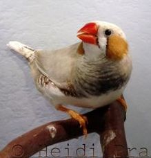 Chestnut Flanked white Zebra Finch - Pet Bird