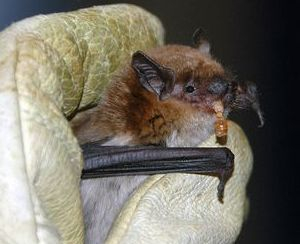 big brown bat eating a meal worm