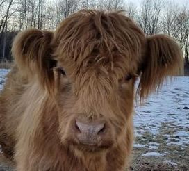 high % miniature highland cows for sale