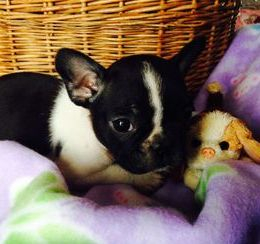 Black Brindle & White pied female