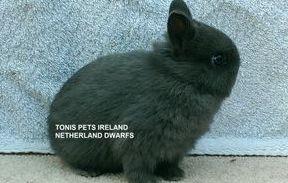 TONIS PETS IRELAND NETHERLAND DWARFS