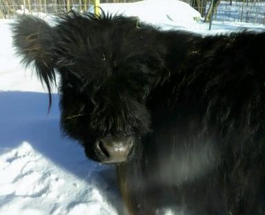 Bubbs is the smallest Highland steer