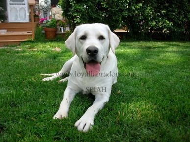 white english Lab puppies for sale