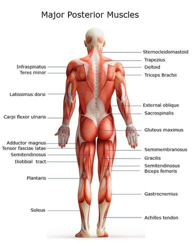Major Posterior Muscles Welcome to JMI Therapeutic Wellness Services