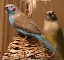 Cordon Blue Finch- Pet Bird