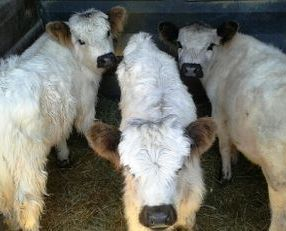 Miniature cows for sale- sold