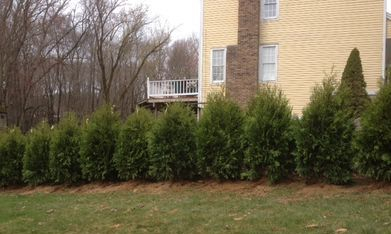 Thuja Occidentalis Nigra Growth Rate: Fast Hearty, Fast Growing (2-4 ft per year), Deer Resistant, Multi Stalk