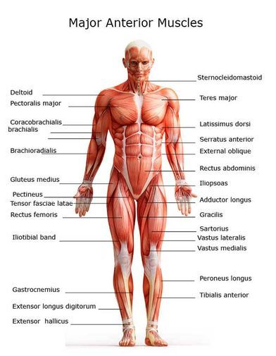Major Anterior Muscles Welcome to JMI Therapeutic Wellness Services