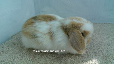 TONIS PETS IRELAND MINI LOPS