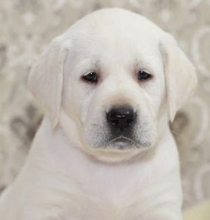 snow white labrador puppies