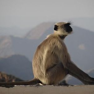 "src=""australian womens travel.jpg alt=womens tours, monkey at the monsoon palace, udaipur , India"