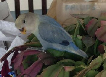 Violet factor Dutch Blue Opaline Peachfaced Lovebird