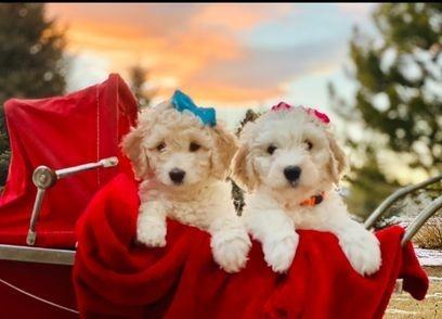 f1b puppies