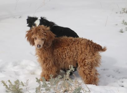 Red Sable Miniature Poodle