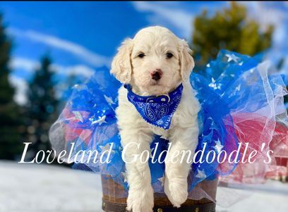 f1b doodle puppy