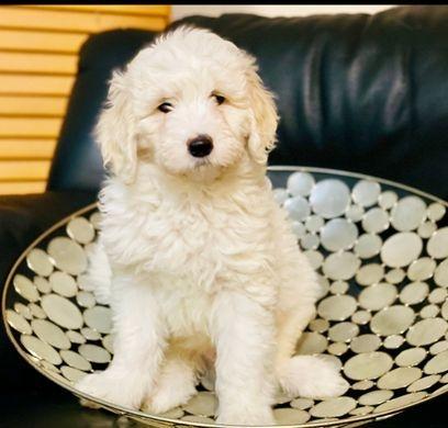 f1b white puppy