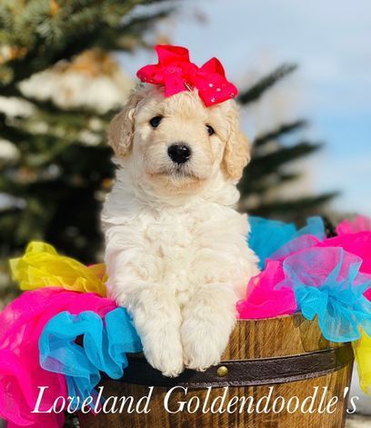 f1b mini puppy