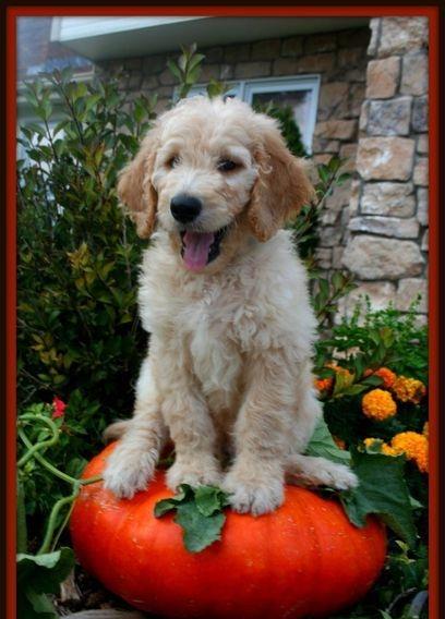 doodle puppy on pumpkin