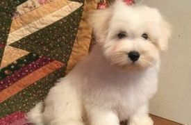 perfect Coton de tulear puppy for sale