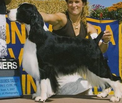 English Springer Spaniel Champion Winterwood Romeo
