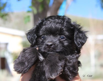 Toy Aussiedoodle puppy