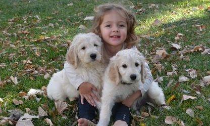 doodle puppies