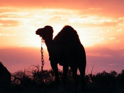 Camel Treks at Sunset on a Camel Photography Trek, Flinders Ranges South Australia. Outback Australian Camels, Australia's Premier Camel Trekking Safaris. Pure Adventure.