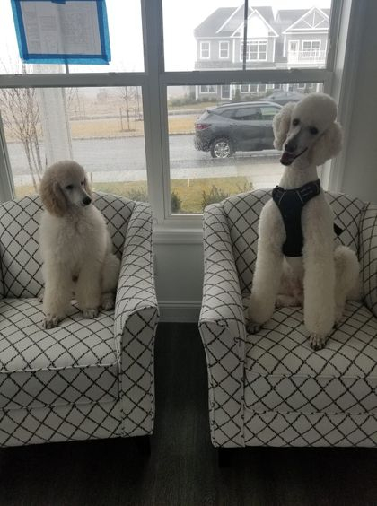 Our D and D boys- Watson and Porter, the best!🐩🐩