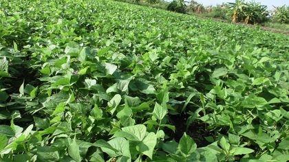 Beans at Bizoha Farmland