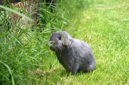 Example of a solid blue Holland Lop
