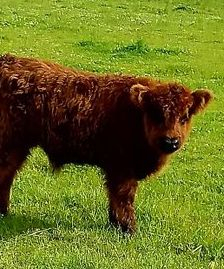 Mini Highland cow lady's baby