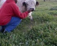 Cesar our miniature bull,mini cows for sale
