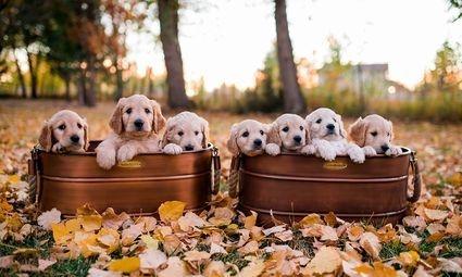 F1 standard puppies