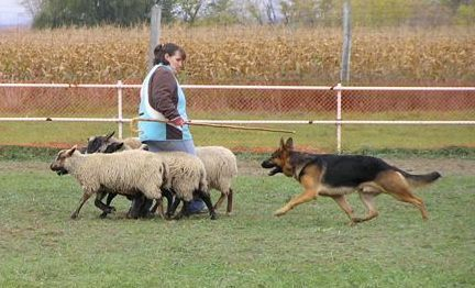 Maverick Herding Sheep HIC instinct