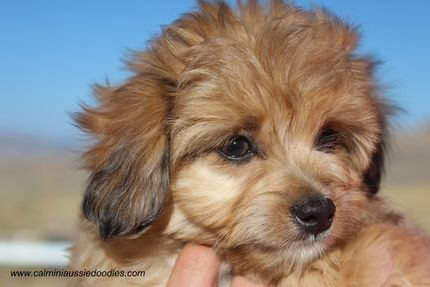 red sable aussiedoodle puppy