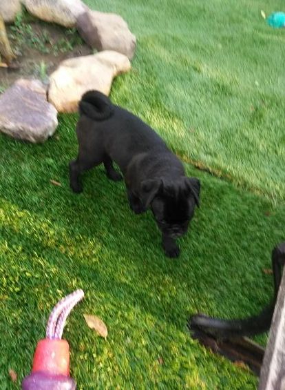 Colorado Pueblo Pugs for sale