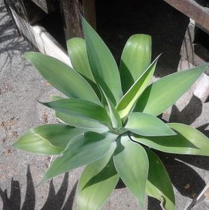 Non spikey Agaves are also low Maintenance