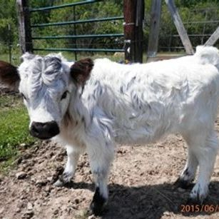 Miniature HighPark Heifer for sale