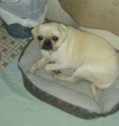 Colorado Pugs for sale